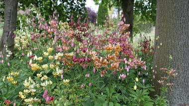 El encanto de las formas de jardín de Lilium martagon