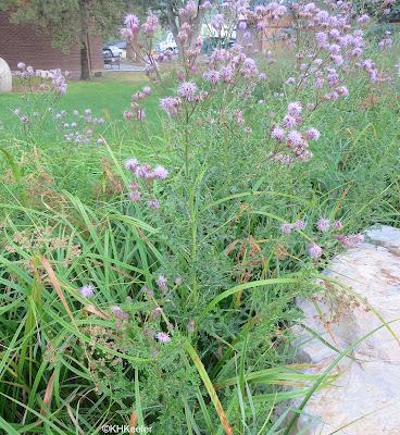Cirsium arvense, Canada thistle