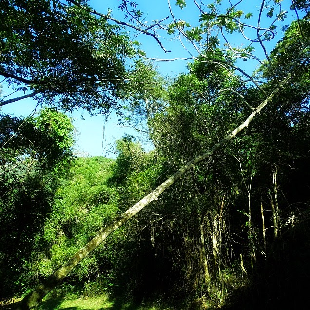 Árvore crescida ema inclinação de 45 graus,  em meio à trilha da Costa da Lagoa da Conceição