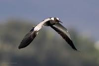 Blacksmith plover - Birds In Flight Photography: Canon EOS 7D Mark II Gallery Copyright Vernon Chalmers