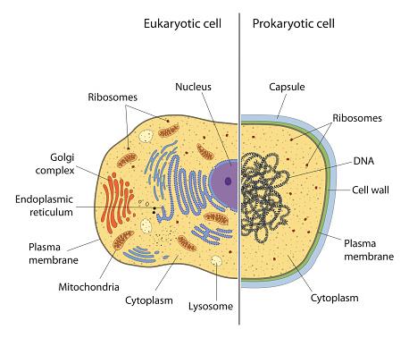 प्रोकैरियोटिक तथा यूकैरियोटिक कोशिकाओं में अंतर