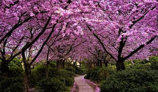 Gambar Bunga Sakura
