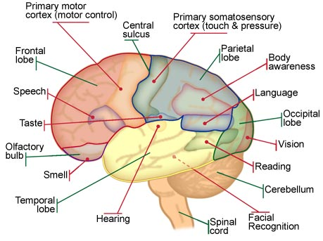 Brian Owens Image: Brain Structure And Functions