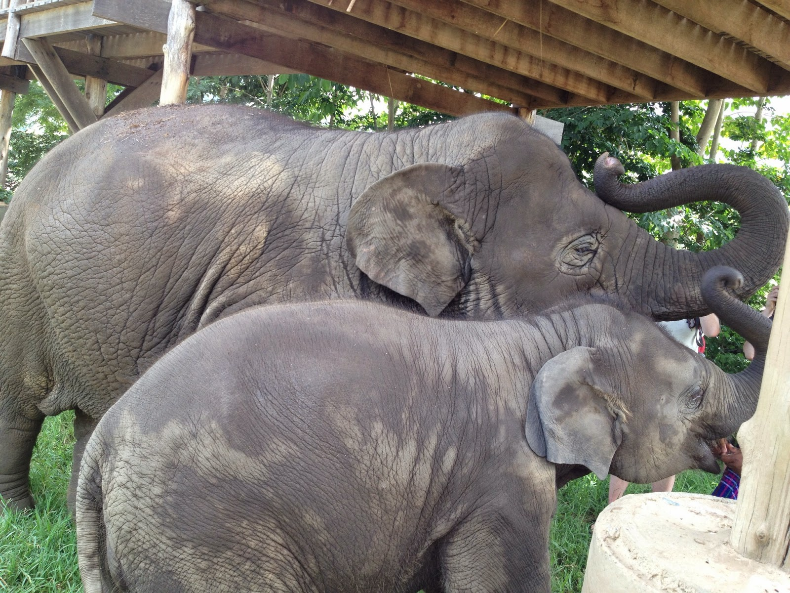 Chiang Mai - Elephants drying off and enjoying more fruit