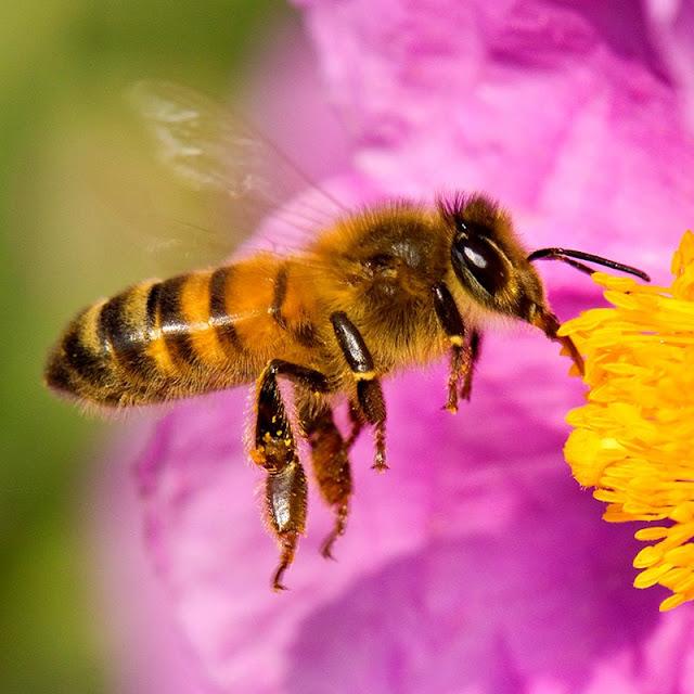 abeja-plagas en hogares desinfección plagas certificación oficial [desratización] desinfecciones en empresas habilitacion de negocios