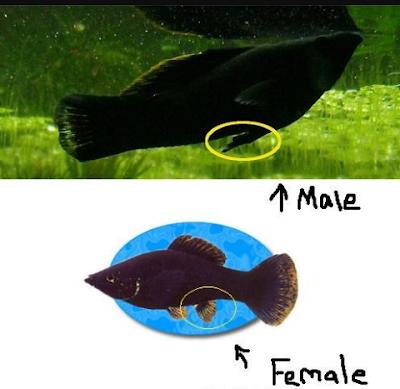 Ikan molly jantan dan betina