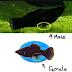 Ciri Ciri Ikan Molly Jantan dan Betina yang Harus Anda Ketahui