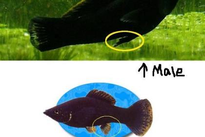 Perbedaan Ikan Molly Jantan dan Betina yang Harus Kamu Tahu