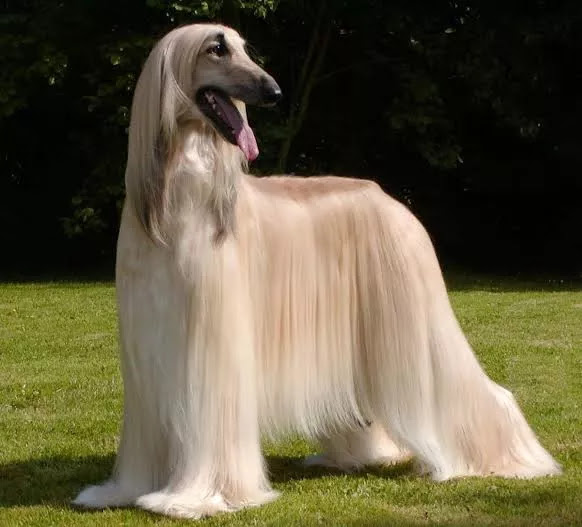 Most expensive dogs of the world - Afghan hounds