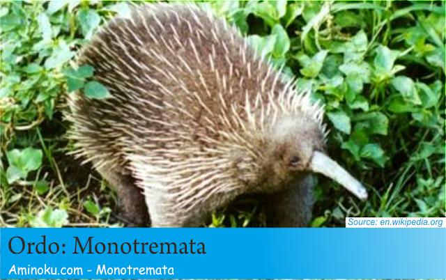 Fakta unik hewan monotremata