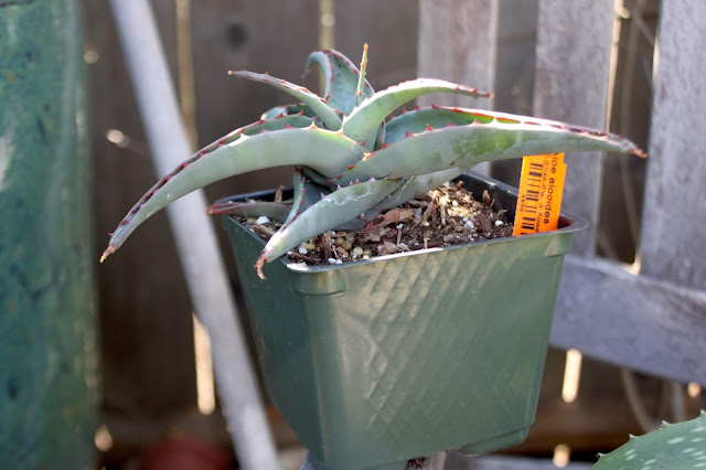 "Aloe alooides in 4"" pot"