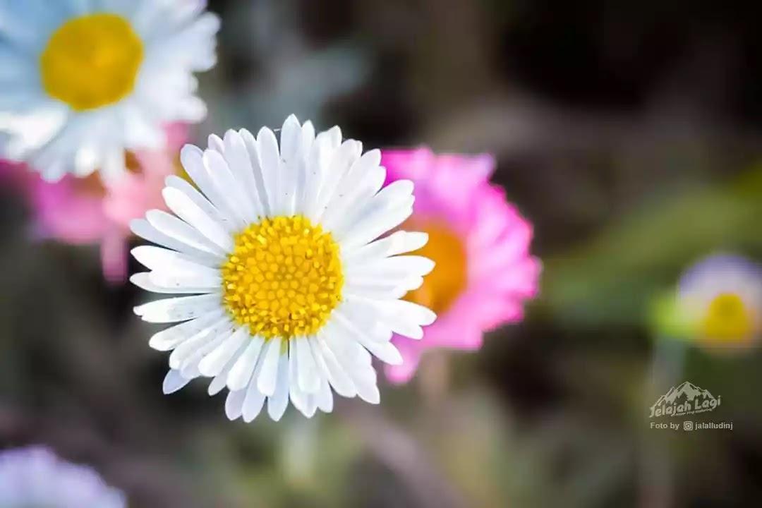 Bunga Daisy Gunung Prau - Foto JL | Jaenal Jalalludin