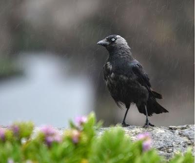 Burung Mandi Hujan