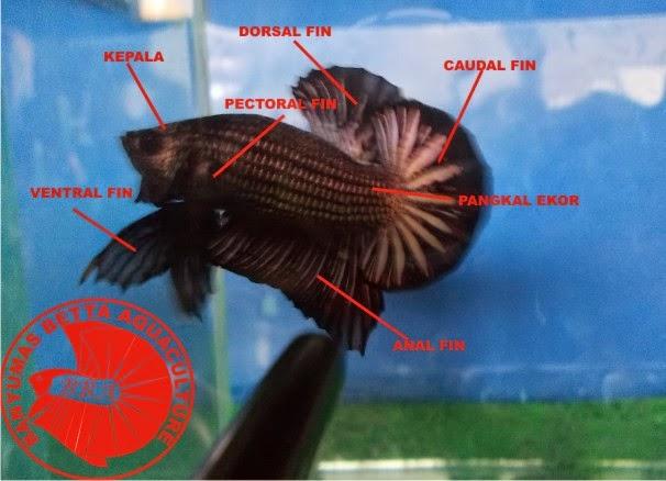 63 Gambar Ikan Cupang Hias Kontes Hd Terbaru Gambar Keren