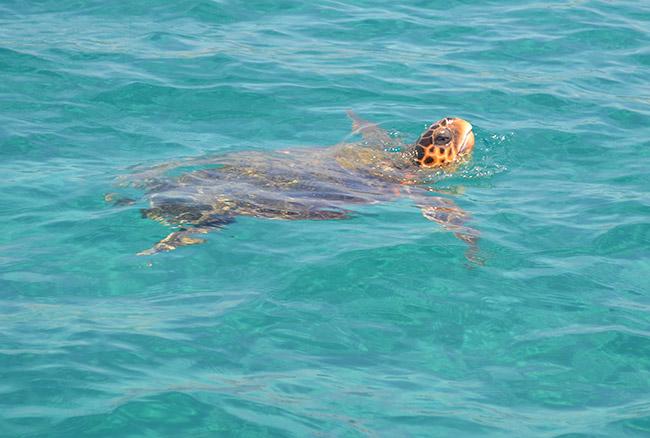 Tartaruga caretta caretta nel mediterraneo