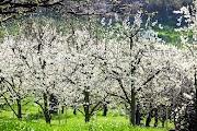 Blossom Flurries