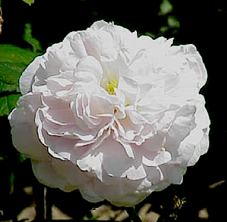 https://fr.wikipedia.org/wiki/Rose_%28fleur%29