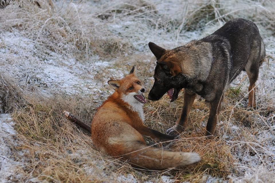 Dog And Wild Fox Are Best Friends 10 Pics Video