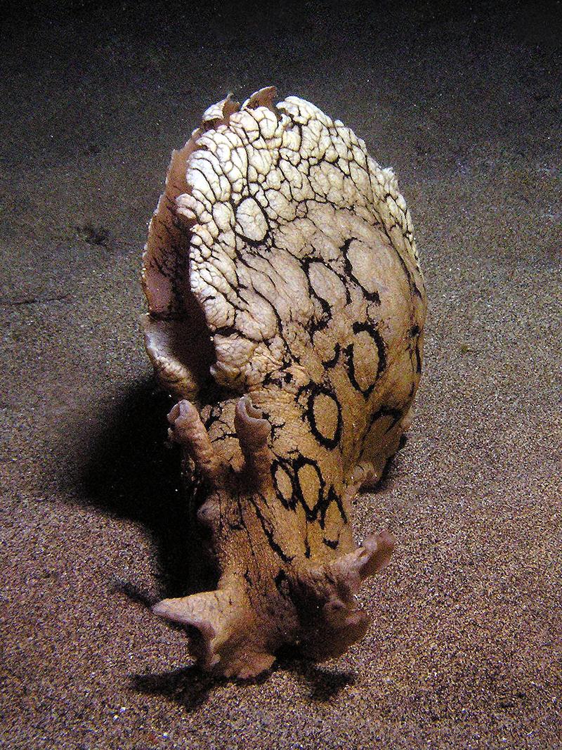 Vaca de Mar Aplysia Dactilomela