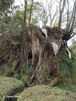 New growth on old stump - Kenroku-en Garden, Kanazawa, Japan