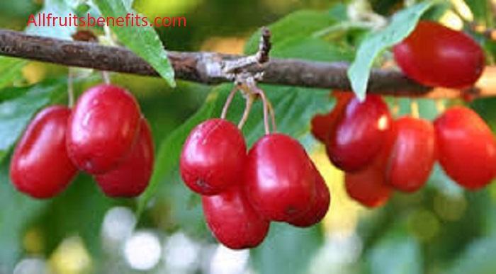 Benefits of cornelian cherry