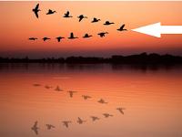Alasan Burung Terbang Dengan Formasi V + Foto Formasi V Burung