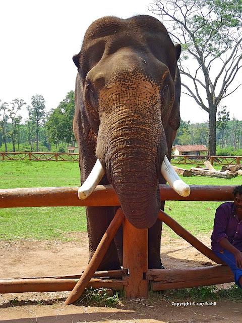 Elephants in Dubare Elephant Camp, Coorg