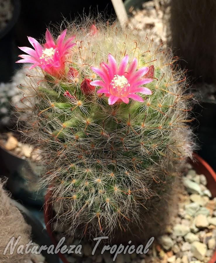 El cactus ornamental Mammillaria bocasana