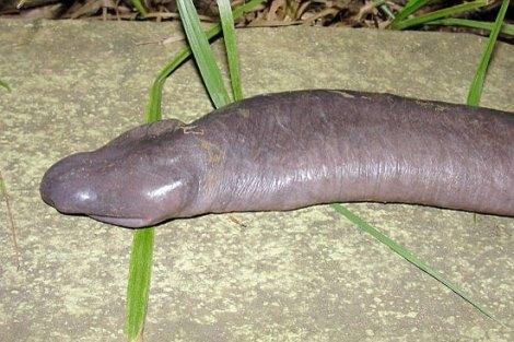 Long john silver penis