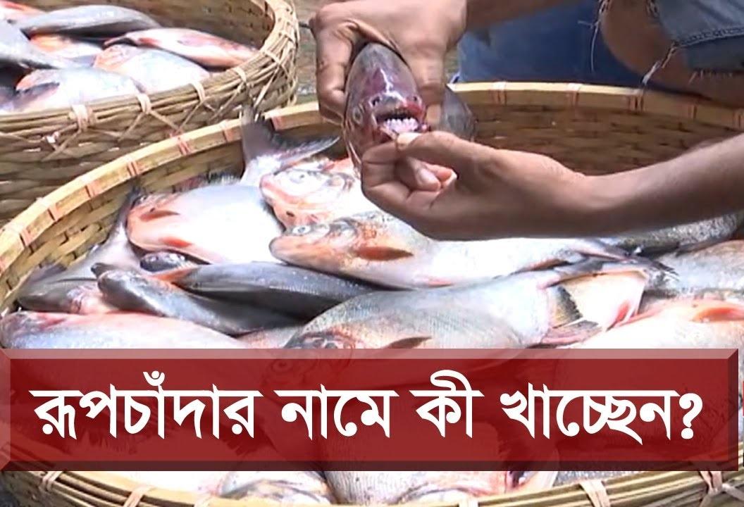 রুপচাদা বলে ফেরি করে ভয়ঙ্কর মাছ বিক্রি হচ্ছে বাংলাদেশে,রুপচাদা,পিরানহা,মানুষ খেকো মাছ,ভয়ঙ্কর মাছ,ভয়ঙ্কর মাছ পিরানহা,piranha,piranha fish,fish,dangerious fish,বরিশাল নিউজ,barishal news,barishal crime news,bangla tv,bangla tv news,bangla news,bd news,bangla tv limited,banglatv.tv,বাংলা টিভি,সর্বশেষ সংবাদ,bangla news 24,bangla news live,bangla news update,bangladesh news,news,bangla tv news,all bangla news,latest bangla news