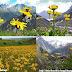 Cúc núi - Mountain arnica