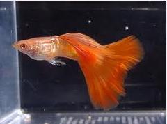 Guppy, 7 Besar Ikan Hias Paling Populer Di Indonesia