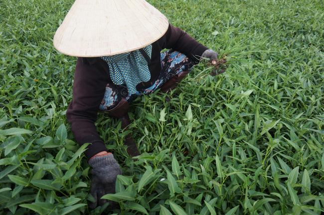 Nông dân chăm chỉ làm cỏ, bón phân, tưới nước thường xuyên để cho sản lượng rau cao.
