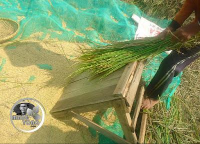 FOTO : Cara perontokan padi dengan gebotan