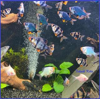 Ikan Sumatra Galak