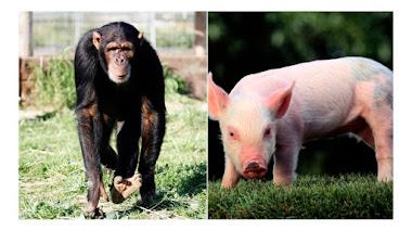 Nacen los primeros hibridos de mono y cerdo