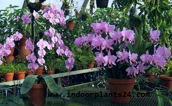 Orchidaceae indoor house plant picture
