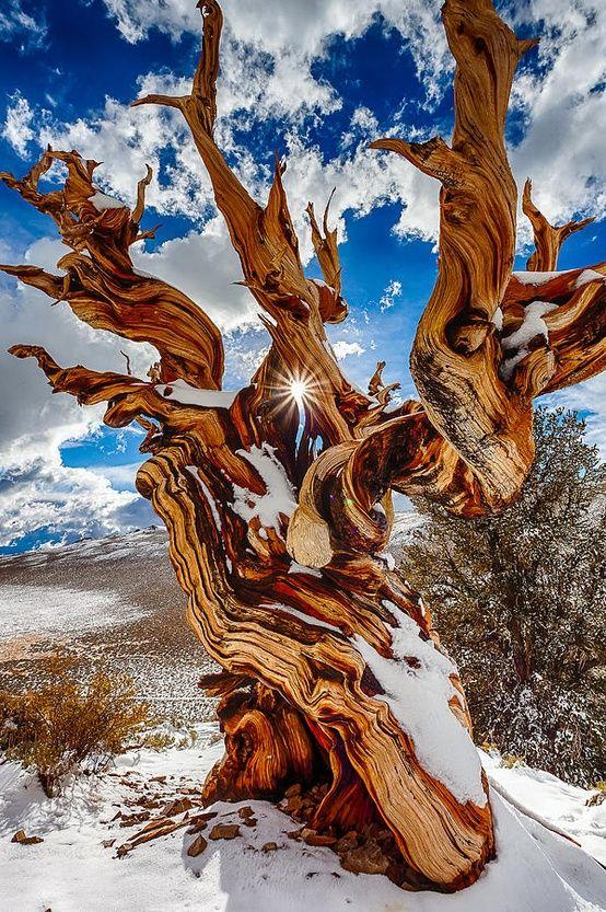 Árvores Milenares