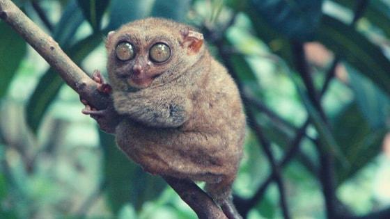 Philippine tarsier philippines facts