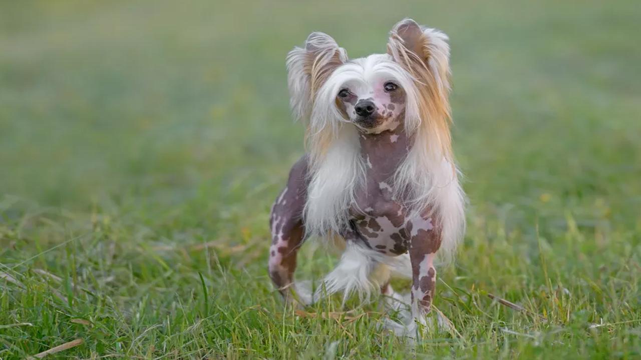 Glen of Imaal Terrier  Profil de la race canine