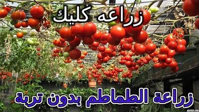 زراعة الطماطم بدون تربة