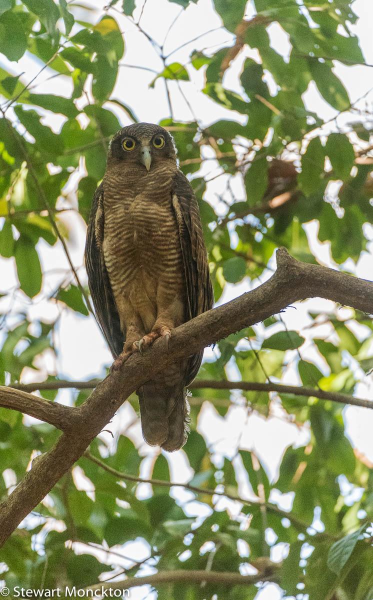 Rufous owl - photo#29