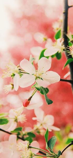 خلفية أزهار شجر الكرز الأحمر