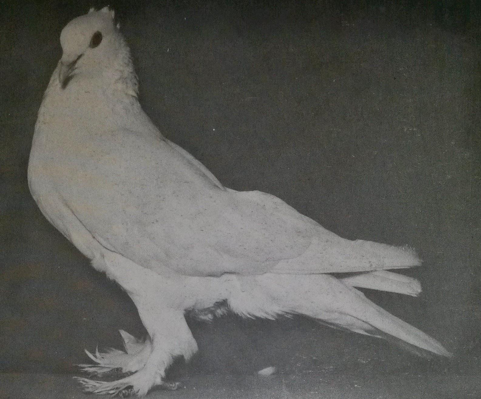 Details Information about Lotan or Lowtan Pigeon