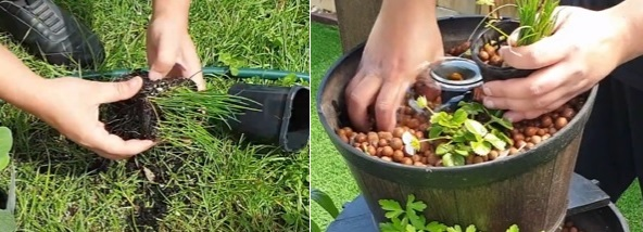 How to grow chives in a fish pond
