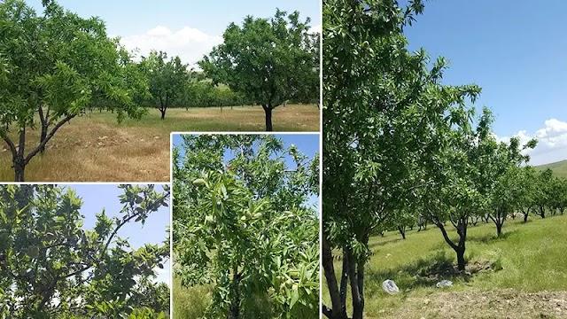 Badem ağaçları meyve verdi