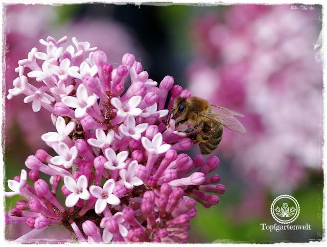 Gartenblog Topfgartenwelt Buchtipp Makrofotografie - die große Fotoschule: Fokuseinstellung Makrofotografie - Biene auf Flieder