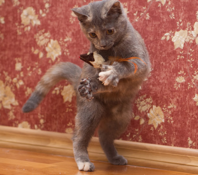 How to make the world better for cats. Experts give their tips, including play opportunities, like this cat is enjoying