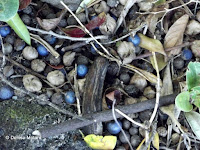 Teak fruits on the ground, Foster Botanical Garden - Honolulu, HI