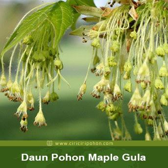 ciri ciri pohon daun maple